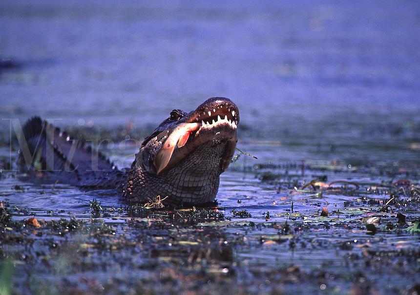 American Alligator. Alligator mississippiensis. Eating a fish. American Alligator. Florida, Corkscrew Swamp Sanctuary.