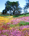 USA, California, San Diego.   Wildflowers in Cleveland National Forest after the Cedar fire and record rains.