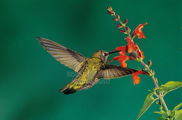 Anna,s Hummingbird, Calypte anna, female in flight feeding on Sage (Salvia sp.), Miller Canyon, Arizona, USA