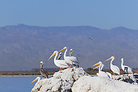 White and Brown Pelicans at Salton Sea, California