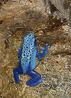 0929-07pp  Dendrobates azureus - Blue Poison Arrow Frog ñ Blue Dart Frog  © David Kuhn/Dwight Kuhn Photography