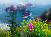 Mustard and foxglove at Arch Rock. viewpoint. Samuel H. Boardman State Scenic Corridor. Oregon