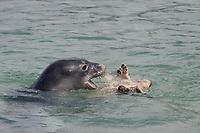Hawaiian monk seal, Neomonachus schauinslandi, 2.5 year old male playing with unwilling small green sea turtle or honu, Chelonia mydas, Pu'uhonua o Honaunau ( City of Refuge ) National Historical Park, Kona, Hawaii ( Big Island ) Hawaiian Islands, USA, ( Central Pacific Ocean )