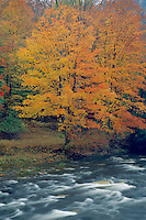 Red maple and Loyalsock Creek<br />