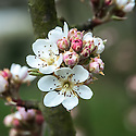 Blossom of Pear 'Pierre Corneille', mid March. A French pear from the late 19th century.