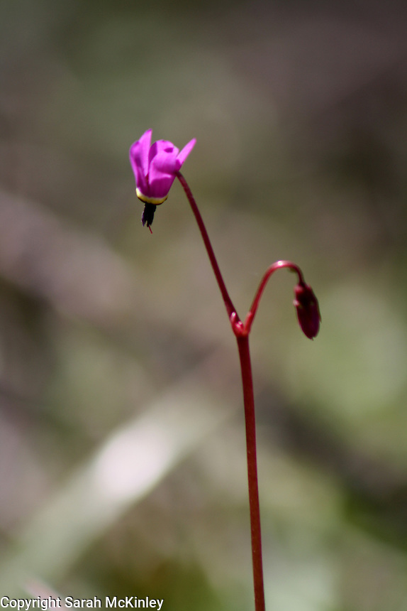 A Henderson's Shooting Star, with a single purple blossom on a long red stem, along Muir Mill Road in Willits in Mendocino County in Northern California.