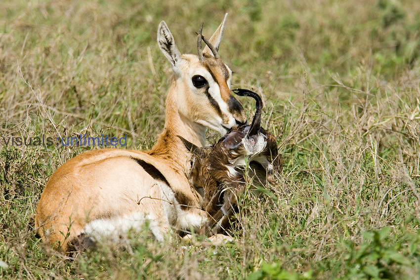 A Thomson Gazelle ,Gazella thomsonii, cleaning its newborn fawn, Africa.