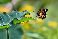 Monarch Butterfly with spider