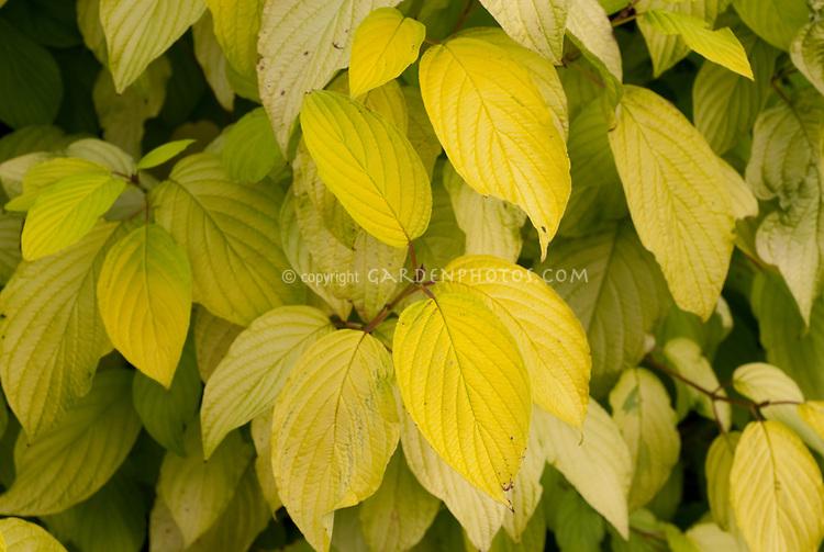 Cornus sericea subsp. occidentalis 'Sunshine'