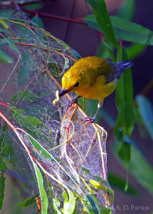 Adult male prothonotary warbler eating webworm at web in willow tree