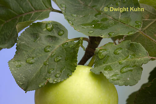 AT14-500z   Water Droplets on apple leaves and immature apple
