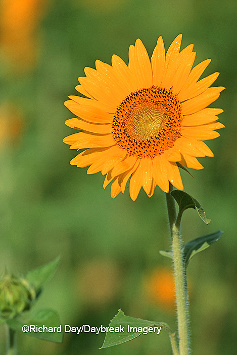 63821-00408 Common Sunflowers (Helianthus annus) IL
