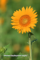 63821-00408 Common Sunflowers (Helianthus annus) IL