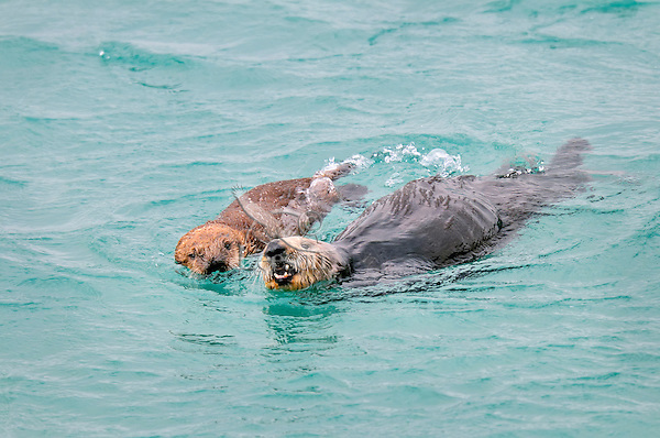 Alaskan or Northern Sea Otter (Enhydra lutris) mother swimming beside her pup.