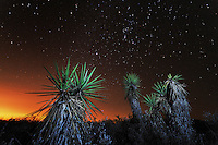 Trecul Yucca, Spanish Dagger (Yucca treculeana), at night, Dinero, Lake Corpus Christi, South Texas, USA