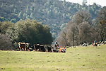 Gathering the cows and calfs for ,branding at the Stoney Creek Corrals of the Busi Ranch, Amador County, Calif.