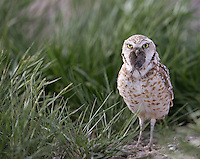 Among the various owl species we saw in Idaho was this cute Burrowing owl.  Here, it works on swallowing a small rodent.