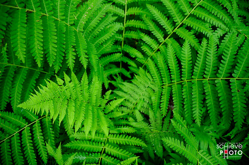 Northern Wisconsin Ferns.