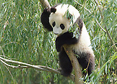 """Washington, D.C. - July 3, 2006  -- Tai Shan, the National Zoo's giant panda cub, plays in a tree at his home at the Fujifilm Giant Panda Habitat on June 11, 2006. The cub turns 1 year old on Sunday, July 9, 2006. To celebrate his first birthday, the National Zoo is hosting a public party on Sunday with traditional Chinese dancers and music, special birthday crafts and talks by panda staff. Tai Shan, whose name means """"peaceful mountain"""" in Chinese, was conceived in 2005 through artificial insemination in a procedure performed by National Zoo scientists and veterinarians.     .Credit: Ann Batdorf, Smithsonian's National Zoo via CNP"""