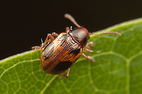 Leaf Beetle (Paria quadrinotata), West Harrison, Westchester County, New York