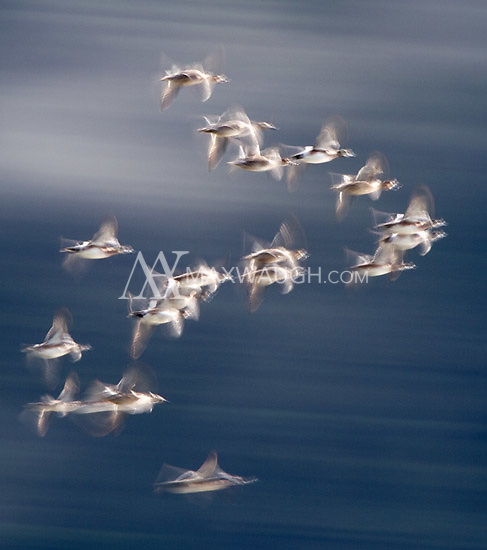 Ducks buzz through the air near Vancouver Island.