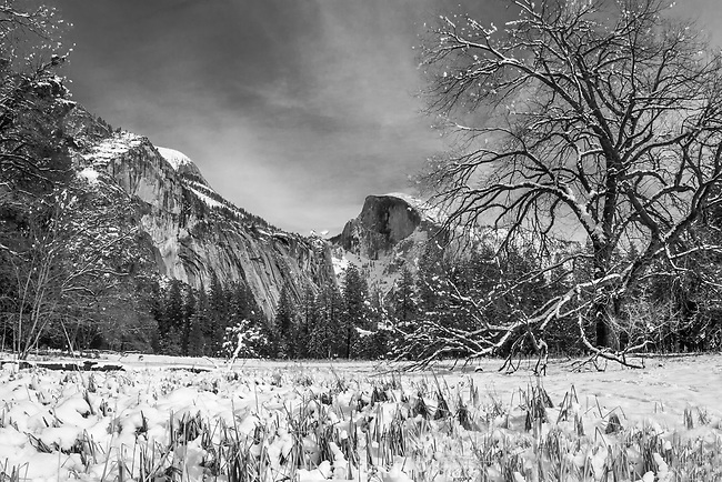 Half Dome stands sentinel in snow covered Cook's Meadow. The old elm gives it some drama, as well as the snow laden grasses in the foreground.