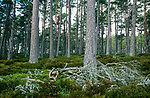 Abernethy forest Reserve Scotland. <br /> An old growth forest in the foothills of  the Cairngorms. Deep heather provides a home to a large biodiversity.