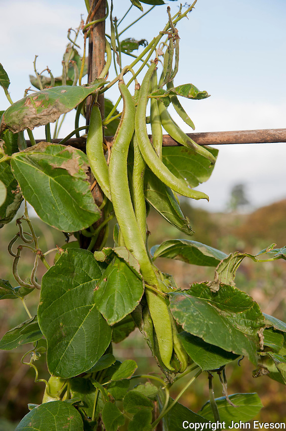 Runner beans in a garden, Bouldon, Ludlow, Shropshire.