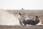 Burchell's zebra, Equus burchelli, dust bathing, Etosha national park, Namibia