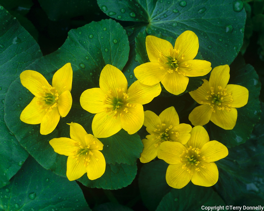Sauk County, WI<br /> Marsh marigold (Caltha palustris) blooming in Baxter's Hollow State Natural Area