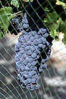 Wine grapes getting ripe under bird netting. Lake Chelan Valley.