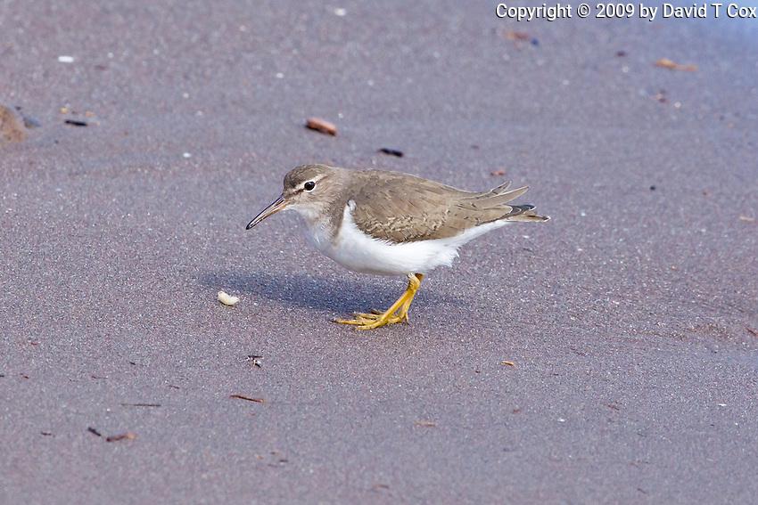 Spotted Sandpiper, Loreto, Baja Sur, Mexico