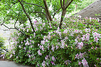 Path through shade garden with flowering fragrant azalea hedge - Rhododendron 'George Lindley Taber', Norfolk Botanical Garden