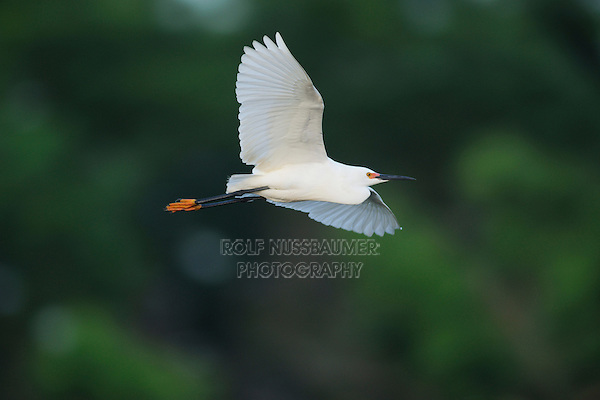 Snowy Egret (Egretta thula), adult in flight, Fennessey Ranch, Refugio, Corpus Christi, Coastal Bend, Texas Coast, USA