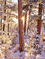 Snow and sunrise on ponderosa pine trees with sunburst. Fremont National Forest, Oregon.
