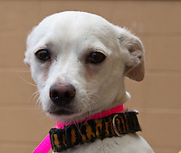 Zack, a white male short hair chihuahua. 7025