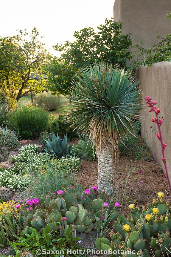 Yucca rostrata - Beaked Yucca, Big Bend Yucca tree in David Salman New Mexico xeric border garden, Yucca havardia cactus, succulents