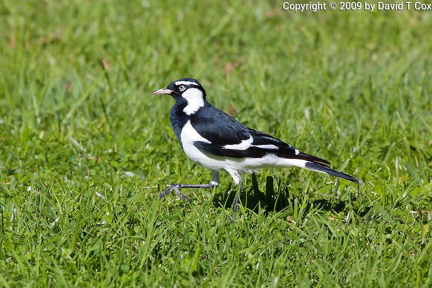 Magpie-Lark, Nelson Bay, NSW,  Australia
