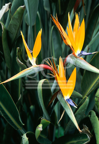 Brazil. Strelitzia reginae; Bird of Paradise flower, Parrot flower, crane flower; native to South Africa.