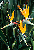 Brazil. Strelitzia reginae; Bird of Paradise flower, Parrot flower, crane flower; native to South Africa.
