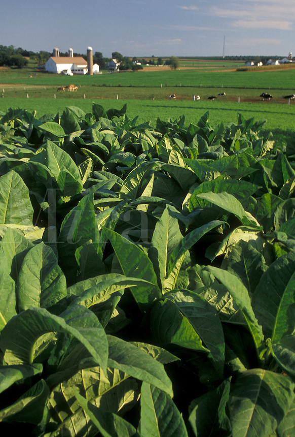 AJ3048, tobacco, Amish, Amish country, Lancaster County, Pennsylvania, Pennsylvania Dutch Country, A field of tobacco grows on an Amish farm in Lancaster in the state of Pennsylvania.