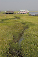 Salt marsh summer; cord grass, Spartina alterniflora; NJ, Wildlwood area