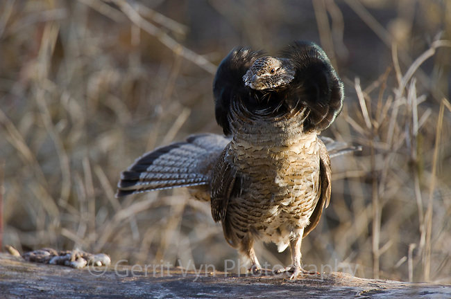 "Male Ruffed Grouse (Bonasa umbellus) displaying neck ""ruff"". The ruff is most often displayed once a female has been attracted by the males drumming and is present. Okanogan County, Washington. April."