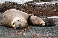Southern Elephant Seal Family on Macquarie Island, Antarctica