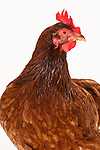 Rhode Island Red Hen Chickens