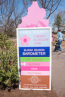"Cherry Blossom bloom ""barometer"" at Branch Brook Park in Newark, New Jersey on Sunday, April 20, 2014. Thousands of people make a pilgrimage to the park every spring to enjoy the cherry blossoms as they bloom in this 360 acre Essex County park. Designed by Frederick Law Olmstead in 1867, it contains over 4000 cherry trees surpassing the census In Washington DC. The first trees were originally a gift from Caroline Bamberger Fuld in 1926.   (© Richard B. Levine)"
