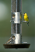 American Goldfinch - Carduelis tristis - male