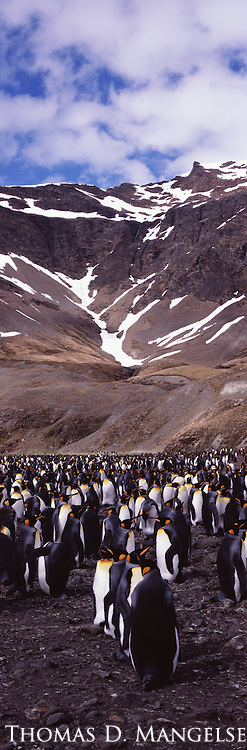 A king penguin colony at Fortuna Bay in South Georgia.