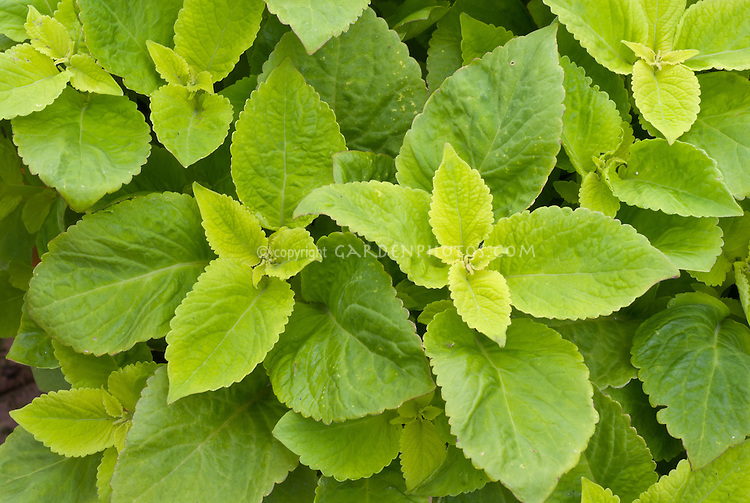 (Solenostemon) Coleus 'Versa Lime', solid green annual foliage plant ornamental leaves