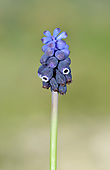 Dark Grape Hyacinth - Muscari neglecta